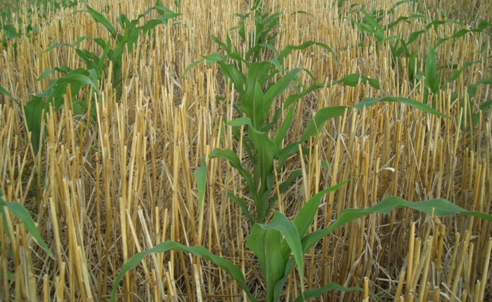 DEKALB, el mejor maíz para siembras de segunda en Uruguay